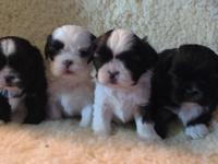 3 Shih Tzu pups available 2 females 1 male. DOB 9-1-15