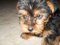 I have 4 female yorkies for sale one is real small and