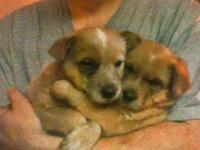 We have 2 beautiful red heeler puppies for sale! We