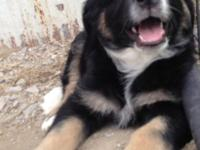 Adorable Australian Shepherd pup for adoption. The pup
