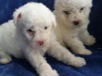 Breed/MALTIPOO Maltese & Poodle mix Both have shots &
