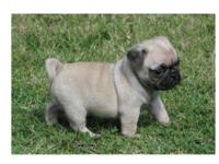 BEAUTIFUL PUG PUPPIES BORN 10-15 I HAVE 4 PUPPIES FOR