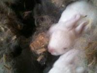 Hello I have for sale 5 baby rabbits at 10.00 each. 2