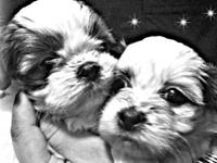 I have three little shihtzu puppies ready on Feb 22nd