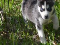 Two Siberian puppies available for adoption to good