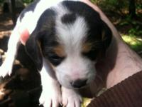 Available is complete blooded beagle young puppies. I
