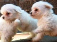 Hi everyone , i have a bichon frise puppies , they are
