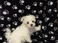 FOR SALE BICHON MALTESE PUPPY HE HAS IS FIRST MONTH