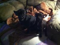 I have 2 black female Chihuahua's puppies for sale. 6