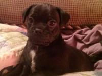 """Jugs"" or pug/Jack Russell terrier mixes for sale, one"
