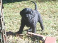 We have one labradoodle puppy left. 8 weeks old on