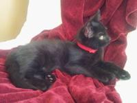 Black himalayan mix free to a good home. Snowball is a