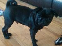 Very cute and sweet, 4 month old, black pug puppy for