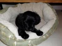 I'm hoping to sell my adorable cocker spaniel puppy to