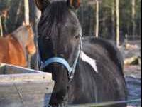 Scout is an 8 year old black/white smaller horse. He