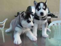 Animal Type: Dogs Breed: Siberian Husky Hi There,we