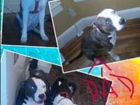We got 4 beautiful ALL AMERICAN PURE BRED BLUE NOSE