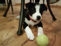 I have a 12 weeks old Border Collie, ready to go! Born