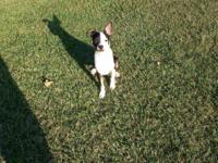 Hi I have. This beautiful boston terrier 3 months Old