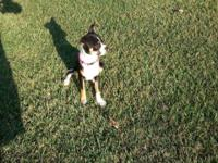 This is a beautiful boston terrier fem mix 3 months Old