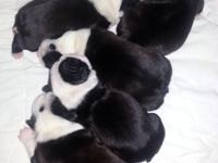 Cute Boston terrier young puppies for sale. Raised in
