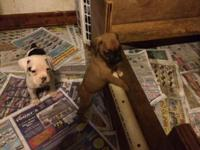 Cute Boxer puppies: 2 males available (1 Fawn with
