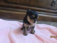 4 week old yorkie young puppies for sale. We have 3