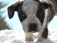 ** He is Located in Central Maine ** Cute Cattledog /