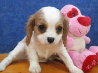 THIS ADORABLE CAVILIER KING CHARLES SPANIEL PUPPY IS