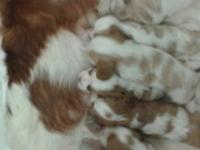 Iam a backyard breeder.I have two litters,3 akc
