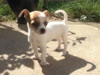 I have a female chihuahua 8 wks. ready for a home, she