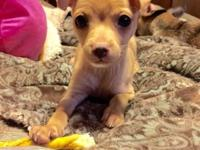 "Cute 9 week old fawn male. ""Chance"" is a gorgeous"