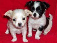 Cute, healthy, home-raised Chihuahua puppies ready in