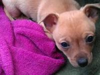 we have 2 chihuahua puppies looking for good homes!! 1