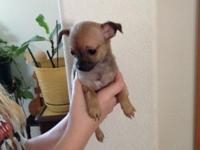Chihuahua Puppies available - 2 children & & 1 gal Born
