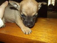 Adorable tiny chihuahua puppies ready to go in 2 weeks!
