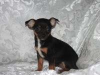 Adorable Chihuahua puppies now ready for their