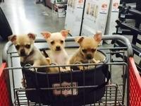 I have four female chihuahua puppies for sale. They are
