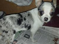Handsome sc male chihuahua. Hes a blue Merle. Has his