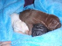 I have 4 sweet and beautiful Chinese Shar Pei puppies;