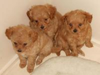 Three cute little female ChiPoos looking for a home.