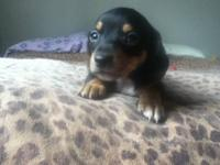 I have 3 beautiful chiweenie puppies 2 male 1 female