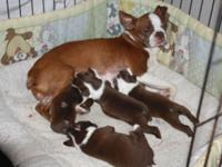 I have 4 ckc boson terrier puppies born march 4,2015