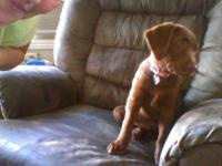i am her owner she is papered chocolate lab very