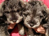 Our Schnauzer Mix puppies are ready for adoption.
