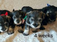 We have four Chonzer puppies (3 boys & 1 girl) for