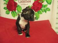 CUTE CKC BOSTON TERRIER PUPPY. 1 BLACK,BRINDLE & WHITE