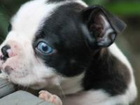 Cute CKC Boston Terrier puppies looking for their new