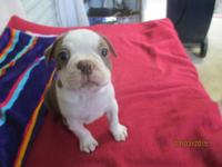 CUTE CKC BOSTON TERRIER PUPPIES. 2 RED & WHITE MALES
