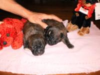 We have 5 cute ckc bug puppies. 4 females and 1 male.
